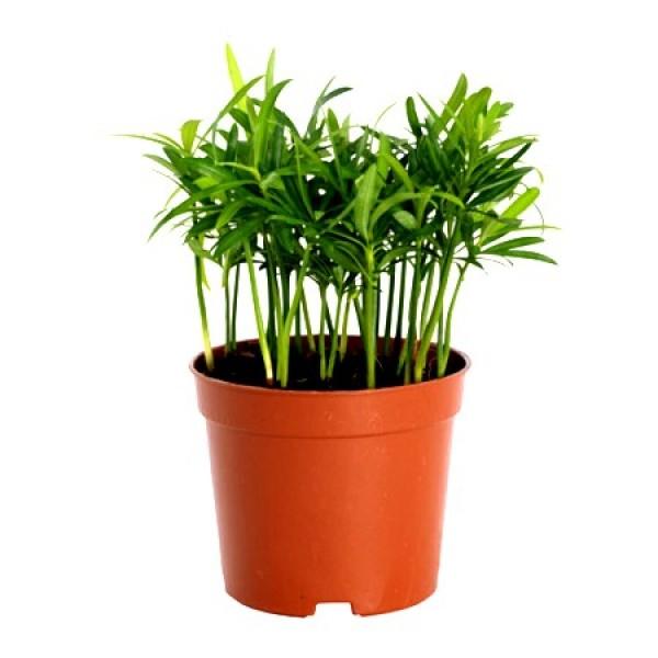 Podocarpus Macrophyllus - Plum Pine Plant