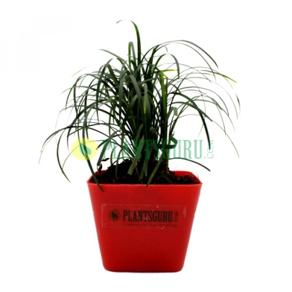 Monkey Grass Plant in Red square pot