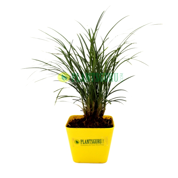 Monkey Grass Plant in yellow square pot