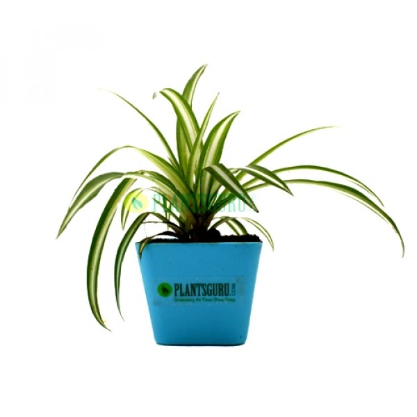 Spider Plant in Blue square pot