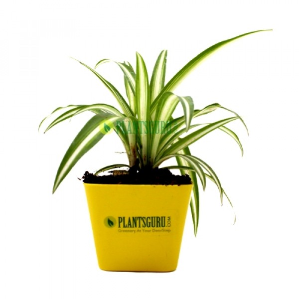 Spider Plant in yellow square pot