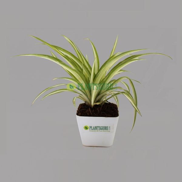 Spider Plant in White square pot