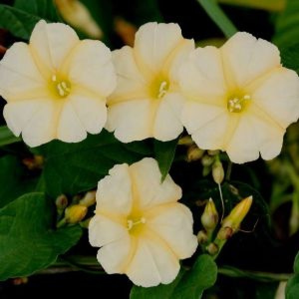 Evening Glory Plant