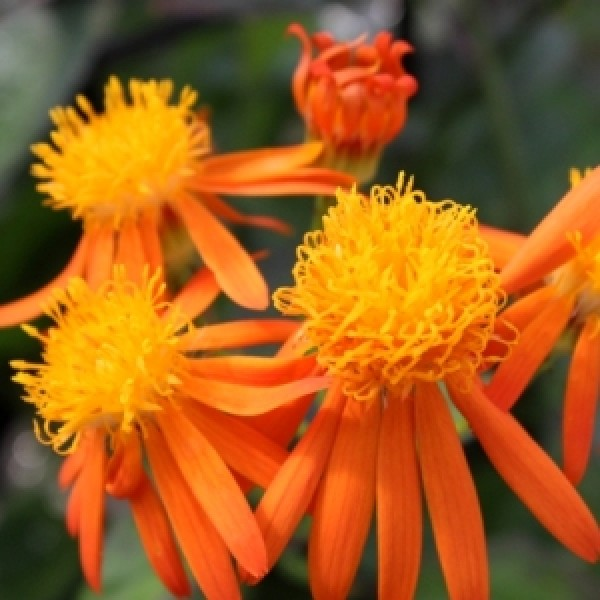 Senecio Confusus Plant