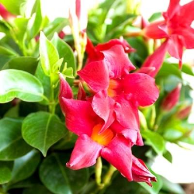 Mandevilla Red Plant