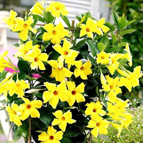Mandevilla Yellow Plant
