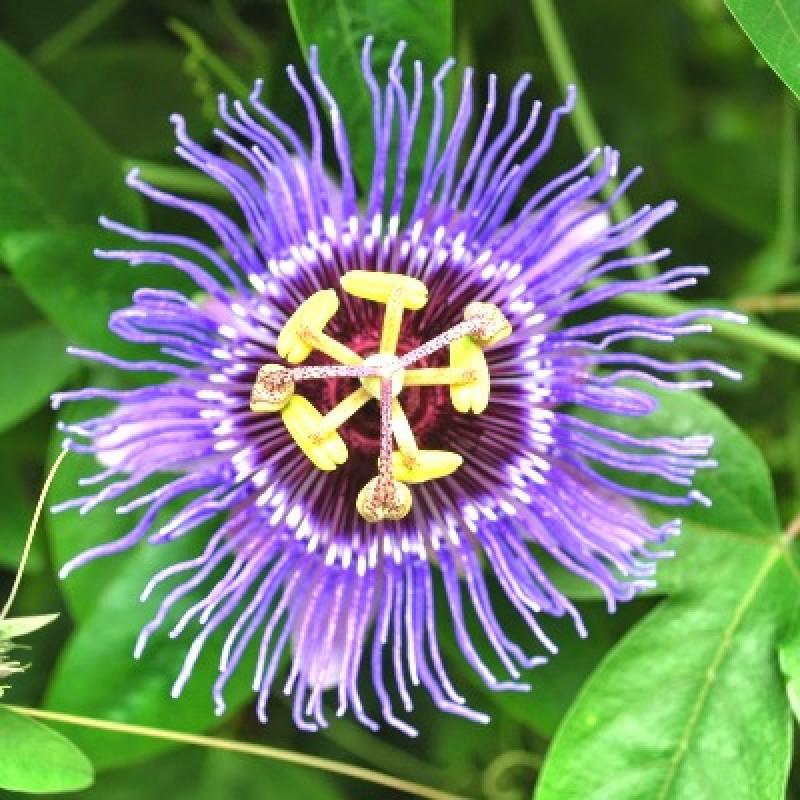 Buy Passiflora Krishnakamal Blue Flower Plant Online At