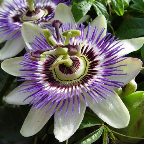 Passiflora White Plant - Passion Flower, Krishnakamal, Passiflora White