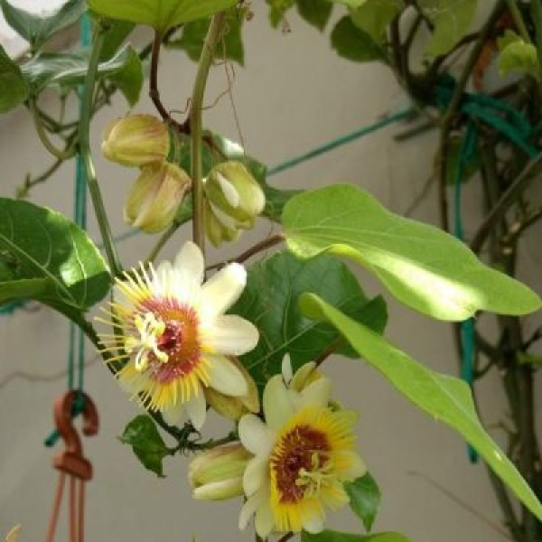 Passiflora Yellow Plant - Passion Flower, Krishnakamal, Passiflora Yellow