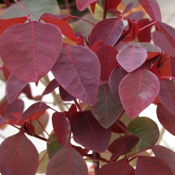 Euphorbia Cotinifolia Plant
