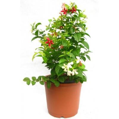 Madhumalati Vine - Rangoon Creeper Plant
