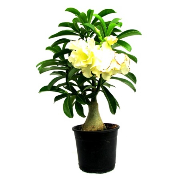 Adenium Yellow Double(Grafted) - Adenium Lemon Ice, Adenium Obesum, Desert Rose Plant
