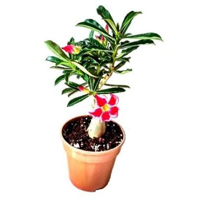Adenium Flower Fairy (Grafted) - Adenium obesum, Desert Rose Plant