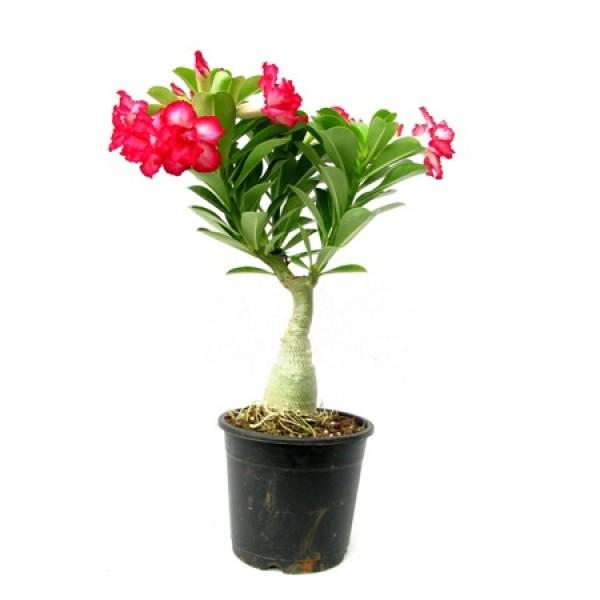 Adenium Phet Mong Kon(Grafted) - Adenium obesum, Desert Rose Plant
