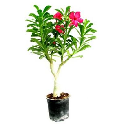 Adenium Pink (Grafted) - Adenium obesum, Desert Rose Plant