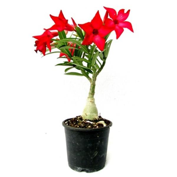 Adenium Red (Grafted) - Adenium Serene Rose, Adenium obesum, Desert Rose Plant
