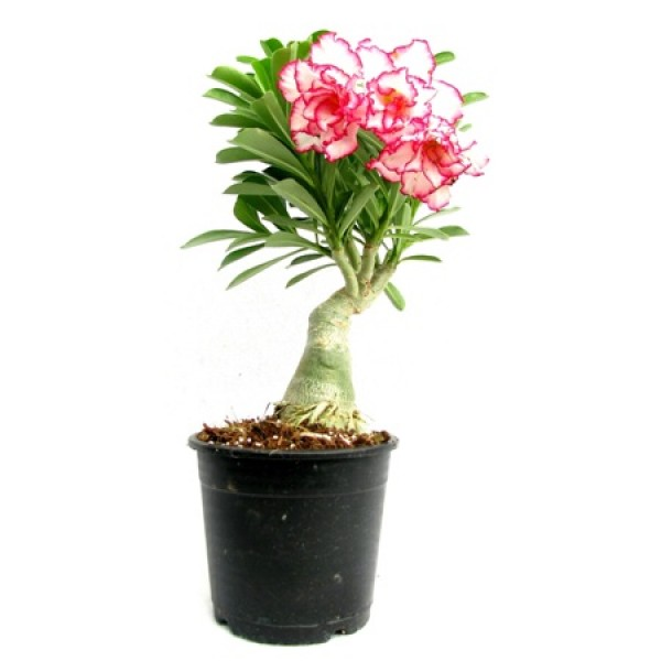 Adenium Red Double (Grafted) - Adenium Serene Rose Double, Adenium obesum, Desert Rose Plant