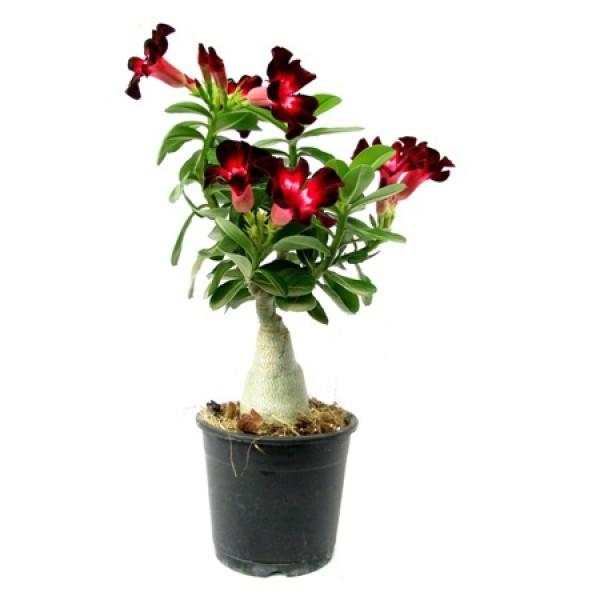 Adenium Velvet Dream (Grafted) - Adenium obesum, Desert Rose Plant