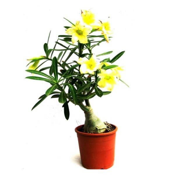 Adenium Yellow Desire(Grafted) - Adenium Lemon Ice, Adenium Obesum, Desert Rose Plant