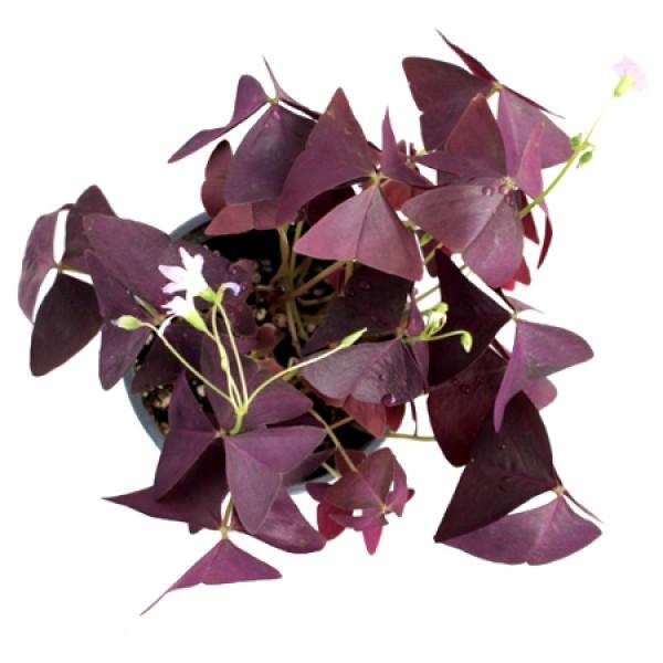 Oxalis Triangularis - Purple Shamrock, Butterfly Oxalis, Butterfly Plant