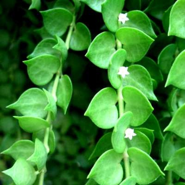 Dischidia Ruscifolia - Million Hearts Plant