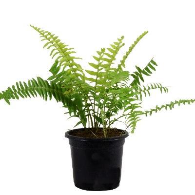 Fern Green - Fern Small Plant