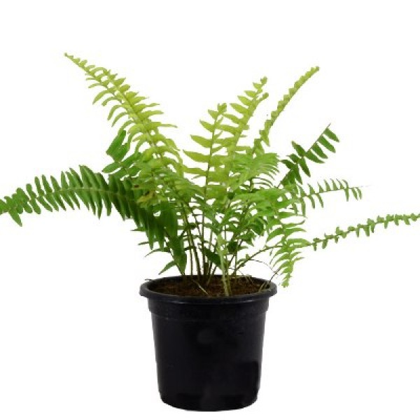 Fern Green - Fern Small Plant