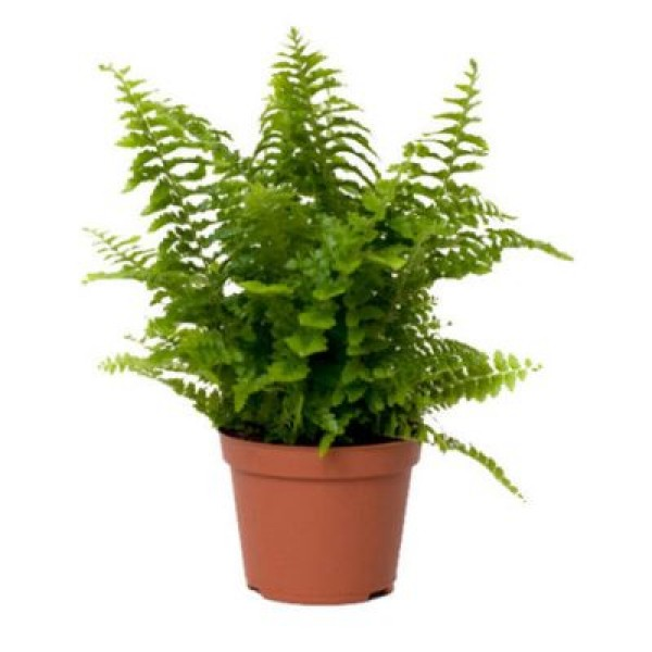 Fishtail Fern - Fern Big Plant