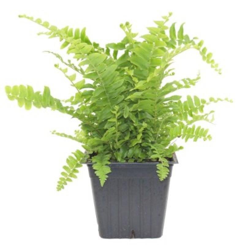 Buy Boston Fern Plant Online India At Cheap Price Plantsguru Com
