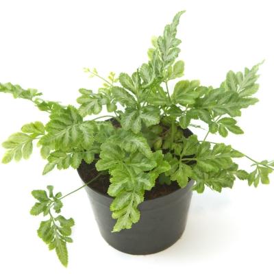 Silver Fern - Fern Variegated Plant