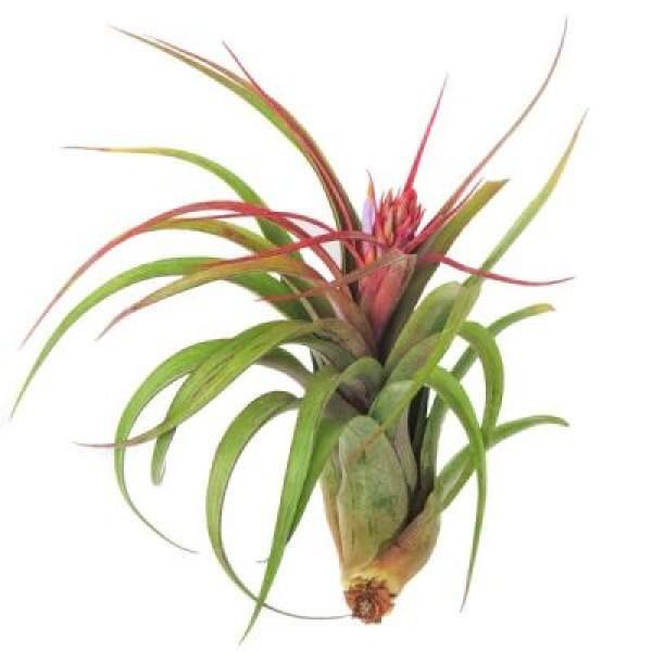 Streptophylla Hybrid Plant