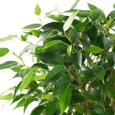 Ficus Black Plant - Ficus Benjamina, Weeping Fig