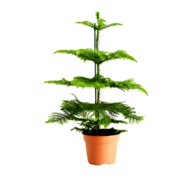 Christmas Tree - Araucaria columnaris (3 Feet Long)