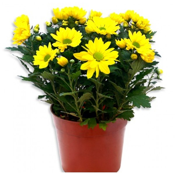 Shevanti Yellow - Chrysanthemum Plant