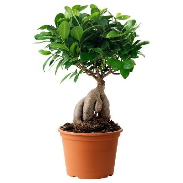 Ficus Bonsai 300 Grms