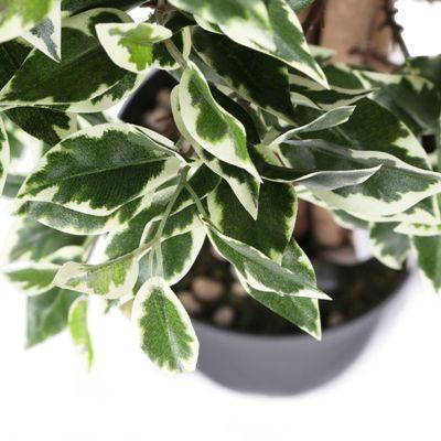 Ficus Variegated Plant - Ficus Benjamina, Weeping Fig