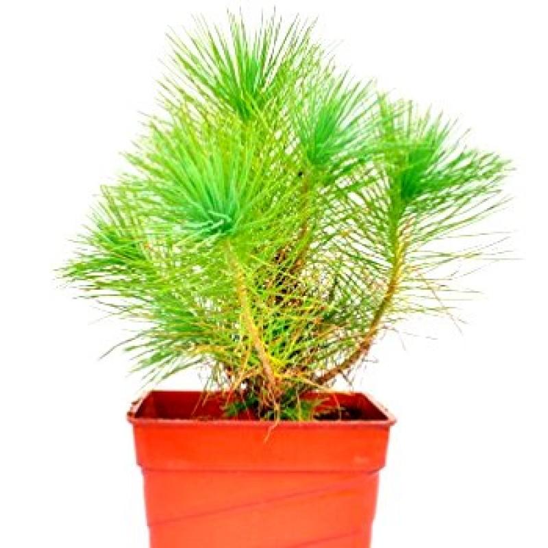 Buy Pine Tree Online At Cheap Price On Plantsguru Com