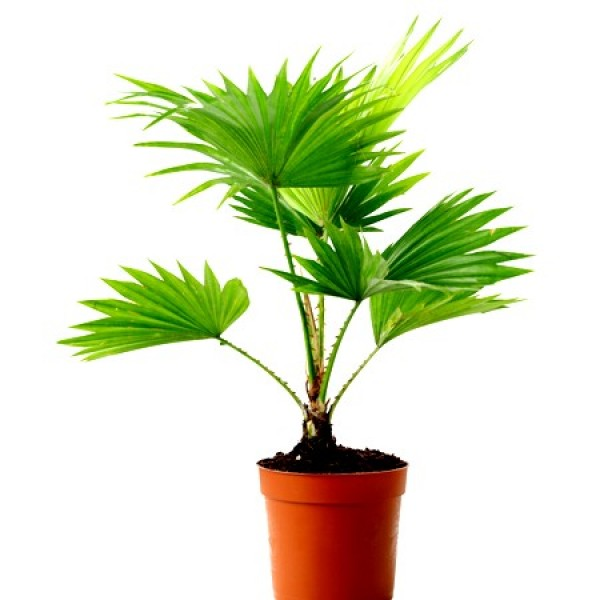 Table Palm (Umbrella palm) Plant