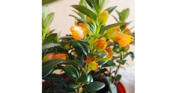 Buy Golden Fish Plant Online India At Cheap Price On