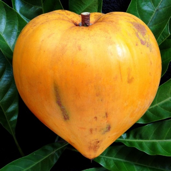 Egg Fruit Plant - Pouteria Campechiana, Canistel, Yellow Sapote
