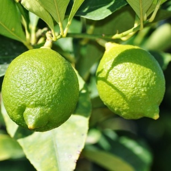 Nimboo Kagazi (Grafted) - Lemon Plant, Lime Citrus