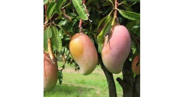 Buy Mango Payari fruit plant online at cheap price on