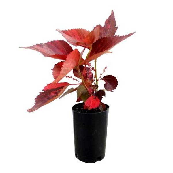 Acalypha Red Plant