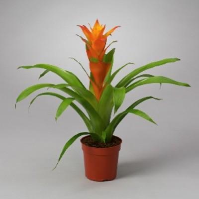 Guzmania Orange Plant - Bromiliad