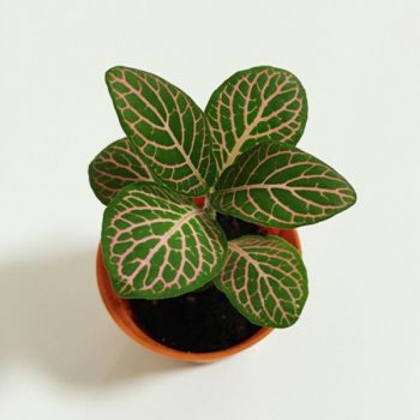 Fittonia Pink Plant