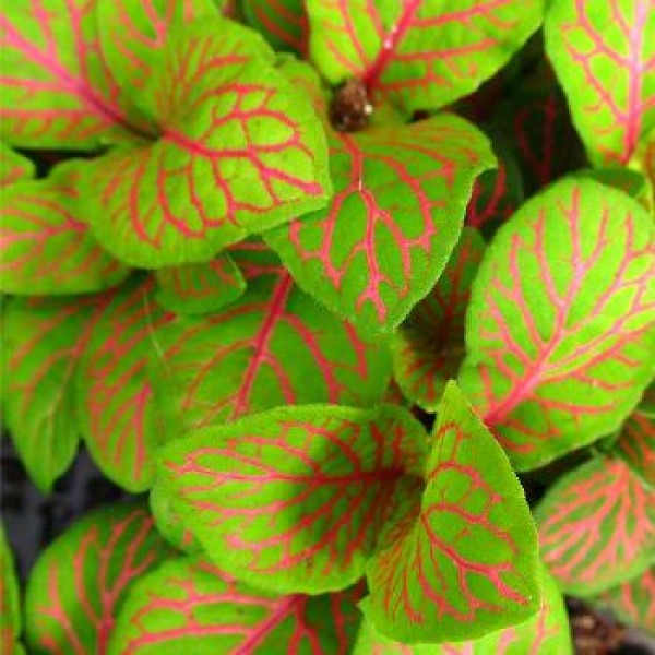 Fittonia Red Plant