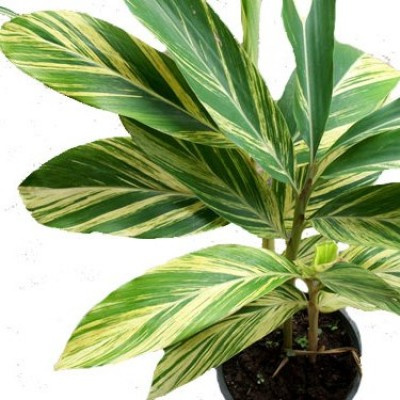 Alpinia Purpurata Variegated Ginger Plant