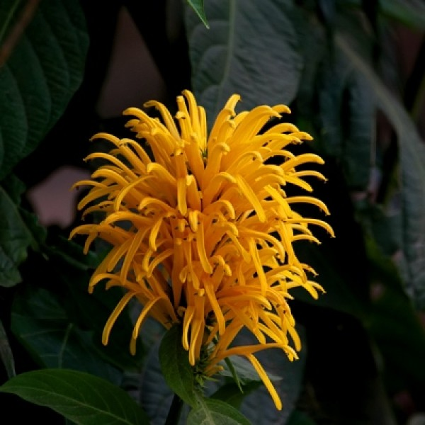 Jacobina Yellow Plant