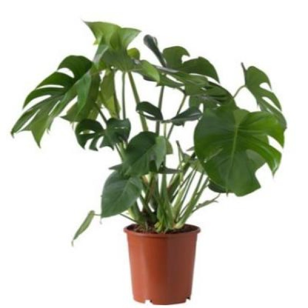 Monster Creeper - Monstera, Monstera Deliciosa Plant