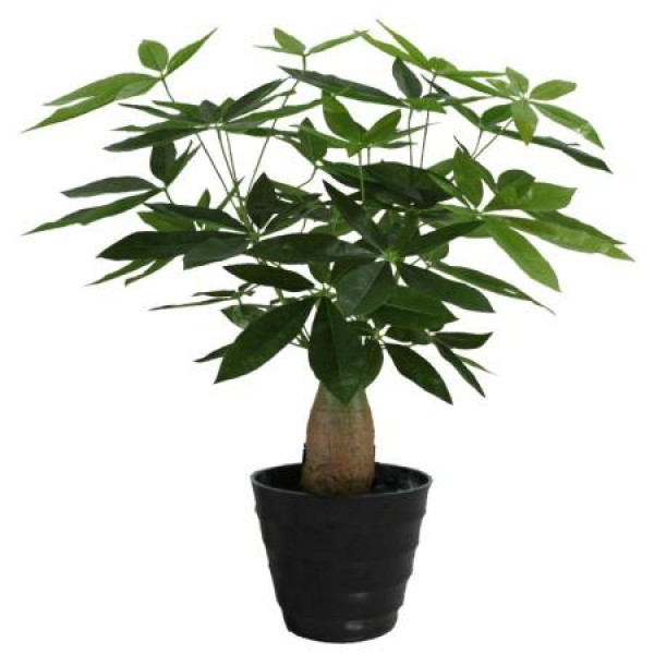 Pachira Plant - Pachira Money Tree